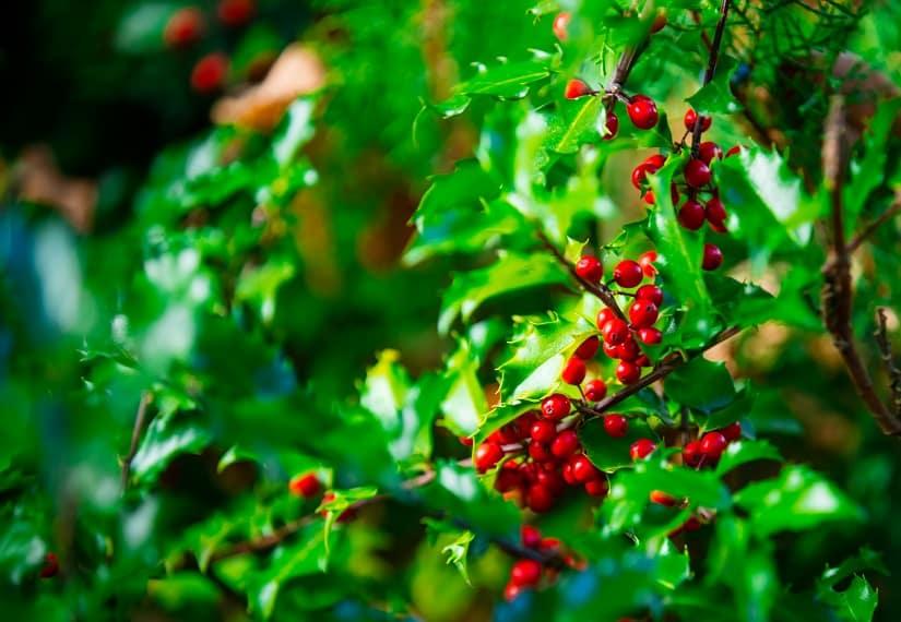 Die Stechpalme ist eine beliebte Alternative zum Buchsbaum.