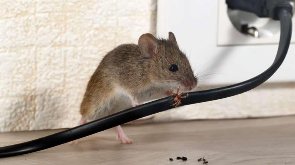 Mäuse vertreiben