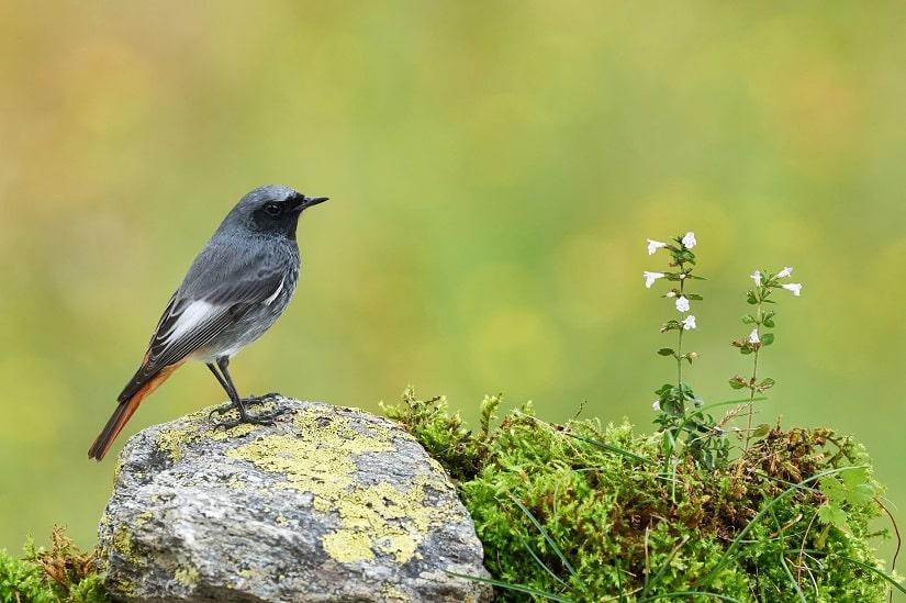 Manche heimische Vögel fressen mittlerweile gern den Buchsbaumzünsler und gelten damit als seine natrürliche Feinde.