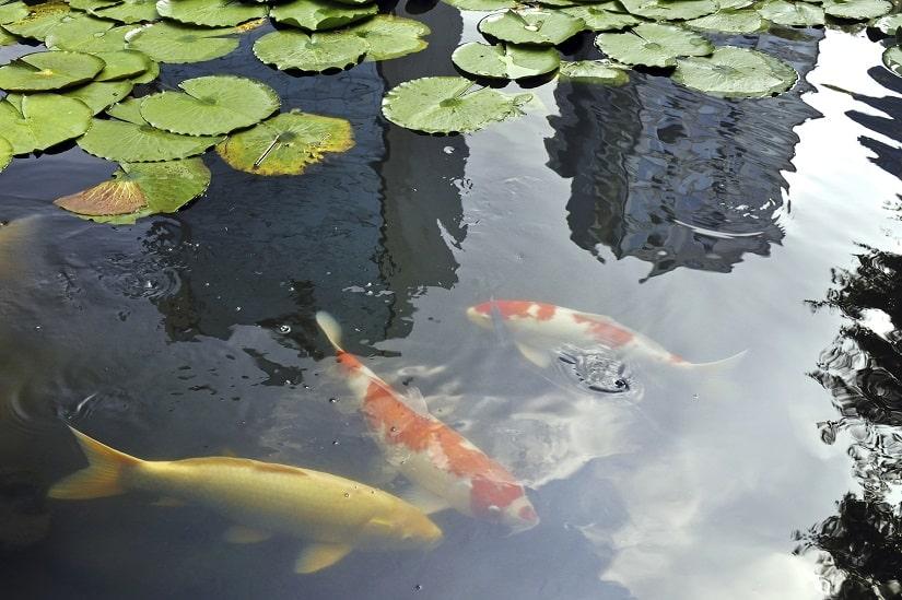 Teichbecken mit Koi-Fischen