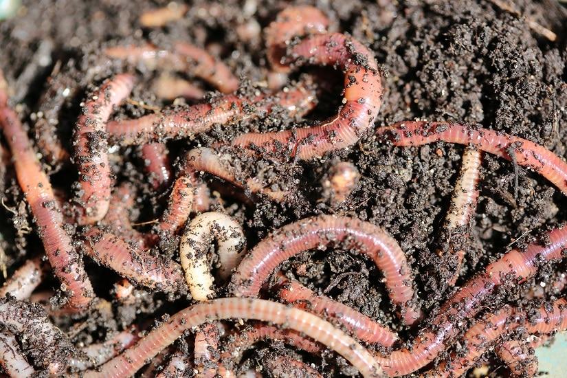 Regenwürmer für den Garten züchten: definitiv eine gute Idee!