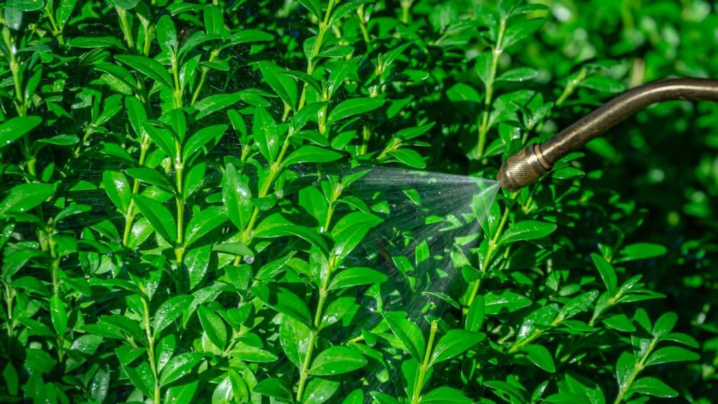 Spritzmittel gegen Buchsbaumzünsler