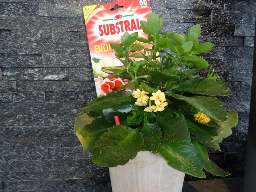 Blühpflanze mit Dünger-Stäbchen