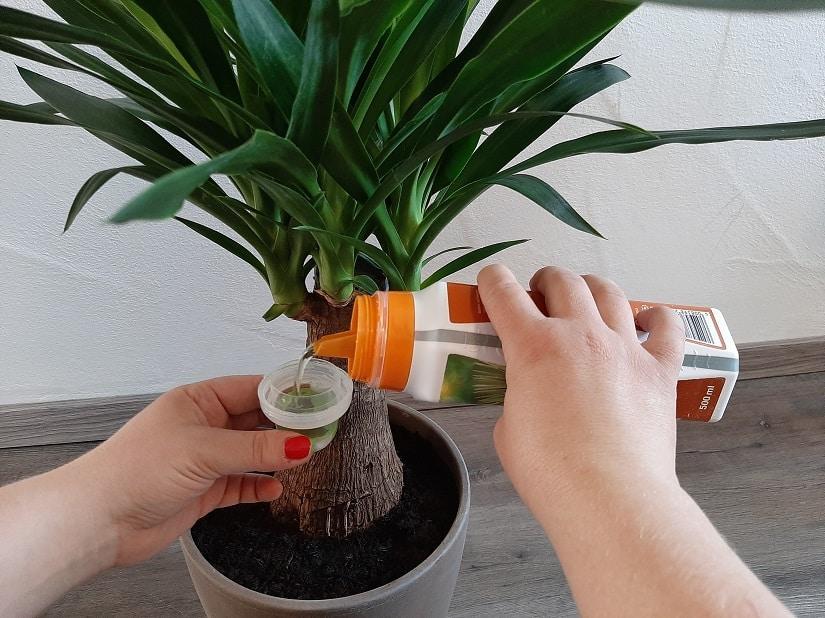 Flüssigdünger für Palmen wird mit dem Gießwasser vermischt