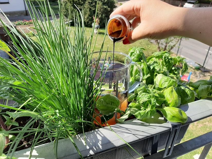 Die Mischung aus Gemüsedünger und Gießwasser wird in den Morgenstunden gegossen.