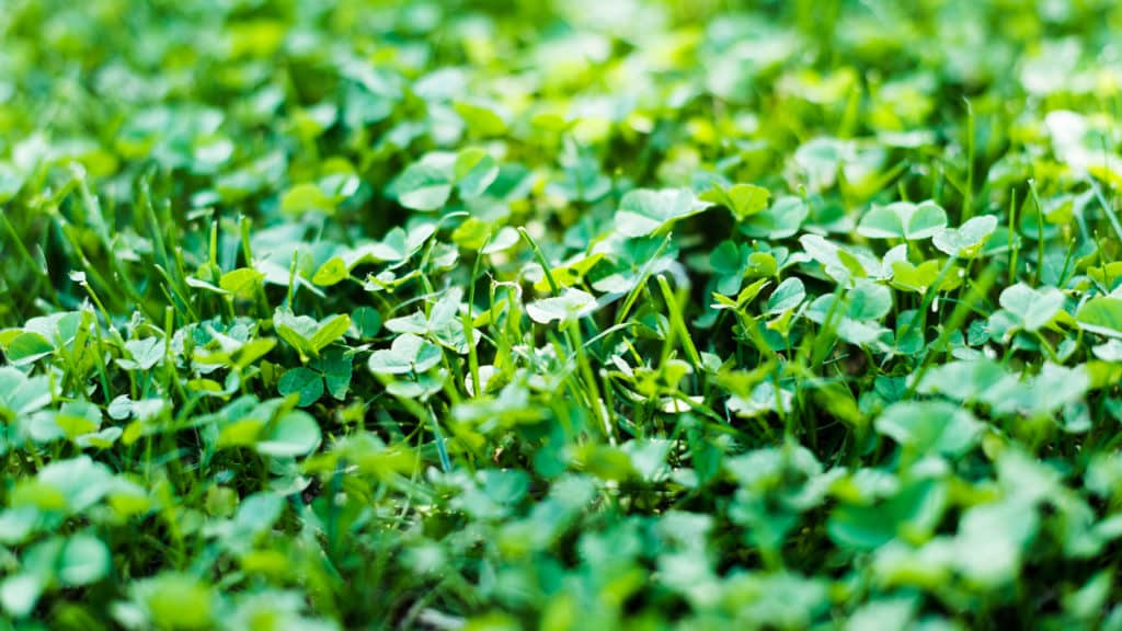 Klee im Rasen