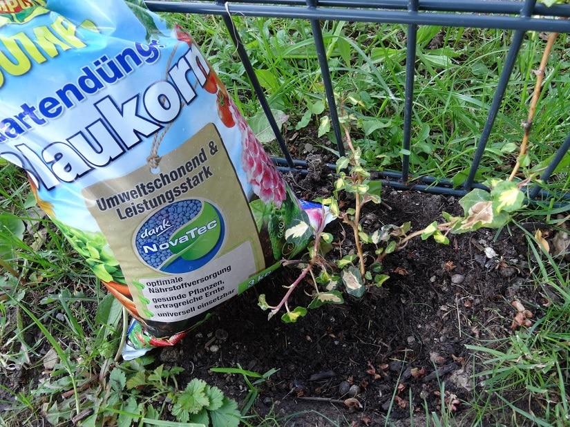 Blaukorndünger mit schwächelndem Efeu, der vor drei Monaten gepflanzt wurde