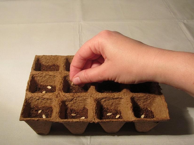 Lege zwei bis drei Samen in jeden Topf.