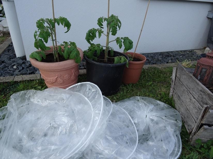 Tomaten werden gelüftet