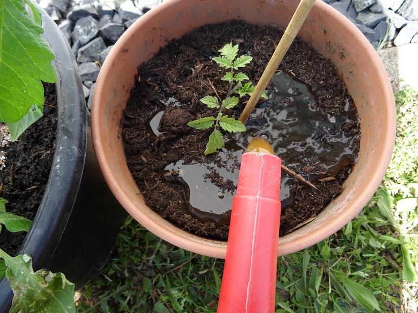 Tomaten werden an die Wurzel gegossen, damit die Blätter trocken bleiben