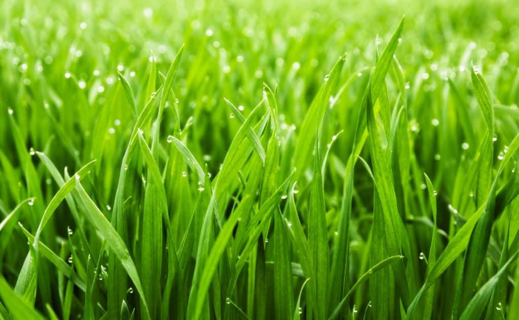 Den Rasen kalken