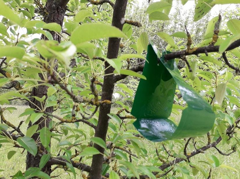 Pflaumenmadenfalle wird im Baum aufgehängt