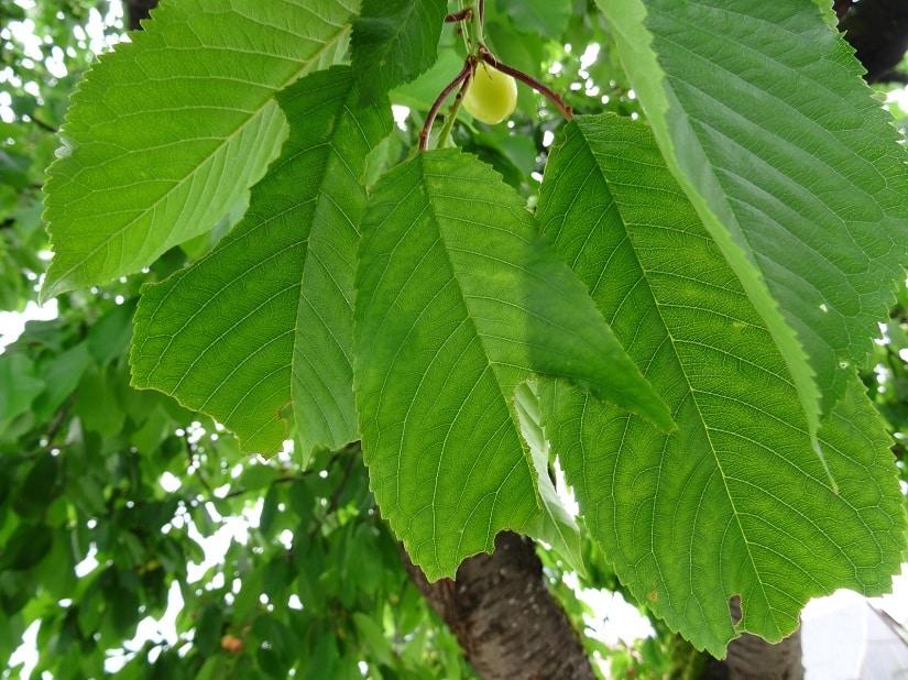 Angefressene Blätter an einem Kirschbaum