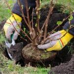 Johannisbeeren pflanzen