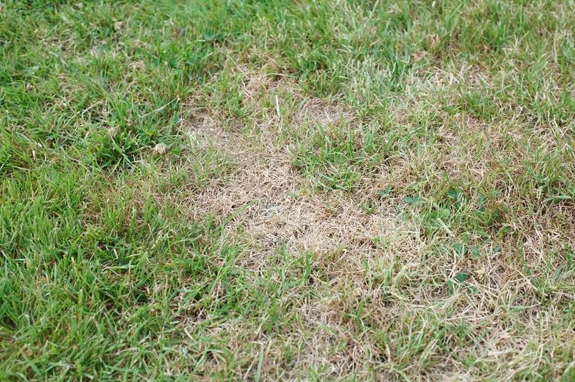 Kahle Stellen im Rasen durch Trockenheit
