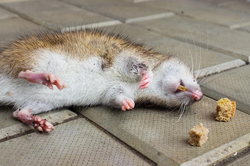 vergiftete Ratte im Garten