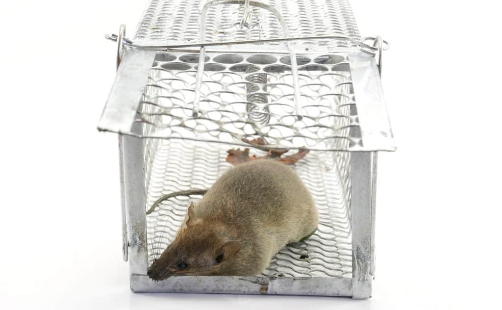 Lebendfalle für Ratte