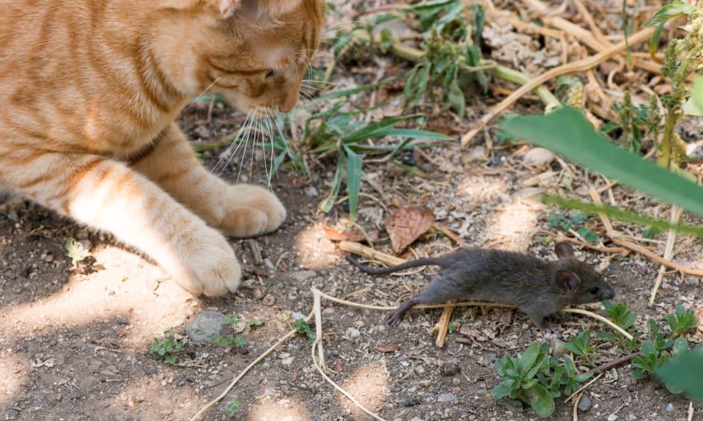 Mäuse im Garten
