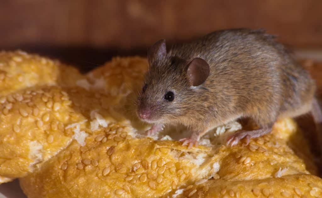 Mäuseschreck