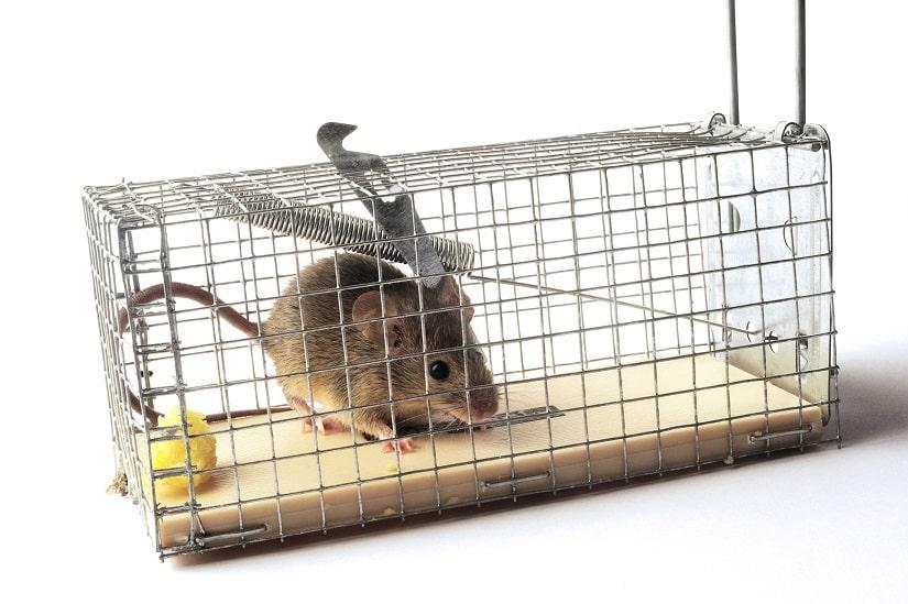 gefangene Maus in einer Lebendfalle