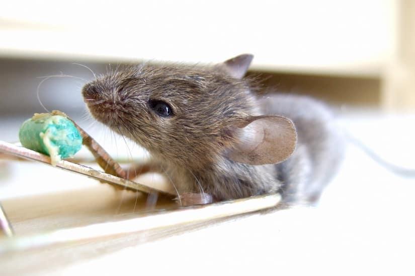 Mausefallen und Köder dafür lassen sich beinahe überall kaufen