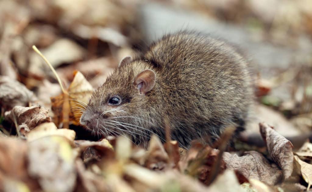 Ratten im Garten - Besteht eine Meldepflicht?