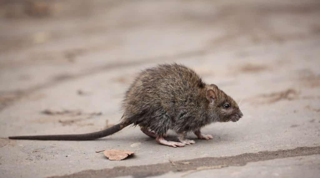 Ratten vertreiben