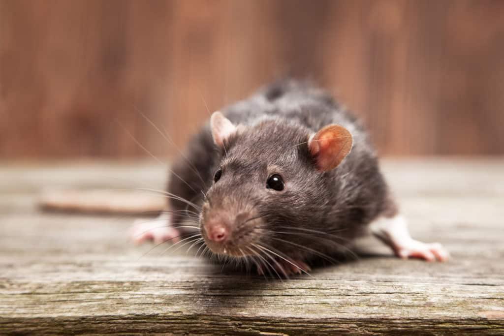 Rattenbekämpfung