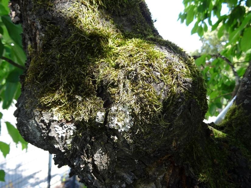 Ein gelungener Astschnitt fördert die Selbstheilung. Die Kambiumschicht überwächst die Wunde und der Baum bleibt heil.