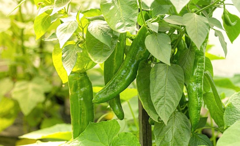 Zu viel Sonne bzw. Wärme kann gefährlich werden für die Pflanzen im Gewächshaus