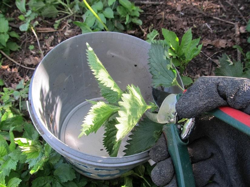 Die abgetrennten Pflanzen werden nun kleingeschnitten und in einen Eimer oder ein anderes Gefäß gegeben.
