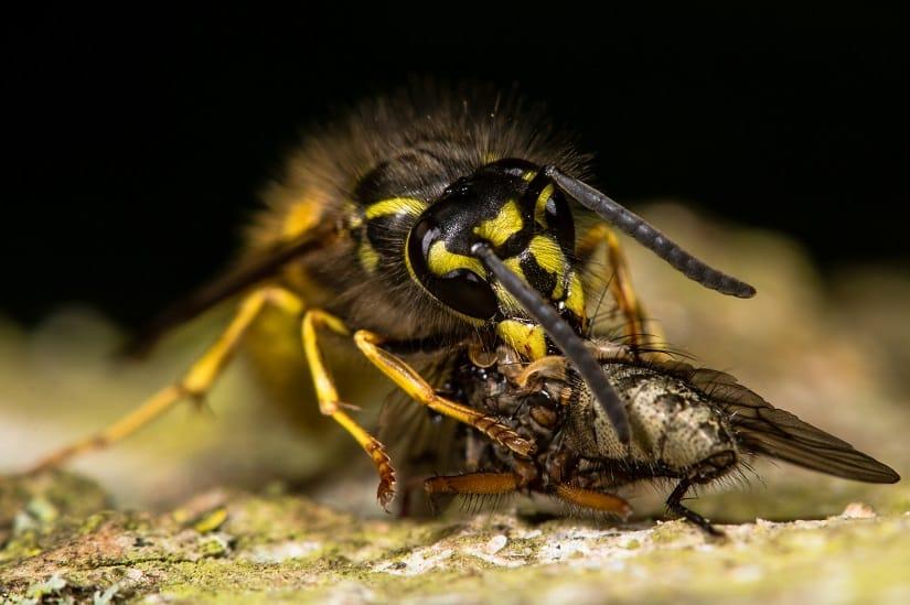 Erdwespe mit einer Fliege als Beute