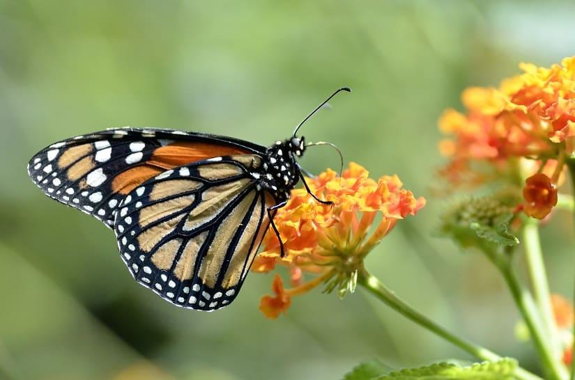 Ein Monarchfalter auf einem Wandelröschen