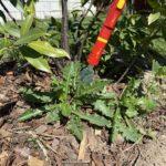Disteln entfernen mit dem Distelstecher von Wolf-Garten