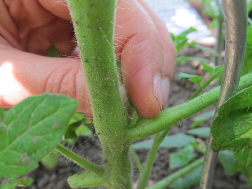 Der entfernte Trieb wird in den Komposter gegeben. Wer sein Tomatenbeet mulcht, kann den Trieb auch einfach liegen lassen.