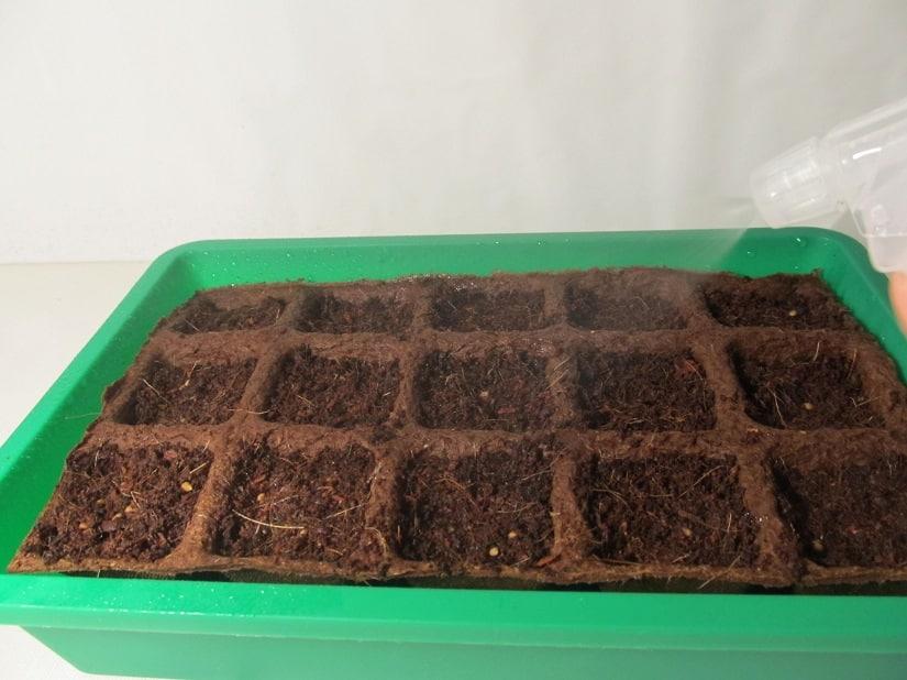 Frisch ausgesäte Tomaten benötigen nur wenig Wasser. Direktes Gießen würde die Samen wegschwemmen.