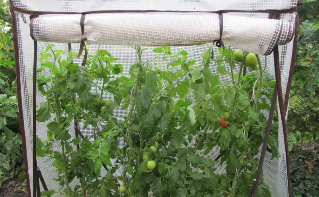 tomaten standort