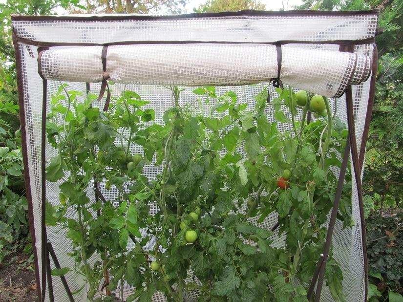 Regen ist generell nicht bei den Tomaten beliebt. Trocknen die Blätter nicht schnell genug ab, kann das die Kraut- und Braunfäule begünstigen. Deshalb ist es gut, die Tomaten wenigstens mit einem Dach zu schützen.