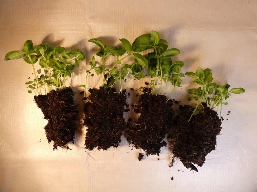 Basilikum kann man durch Teilung vermehren.