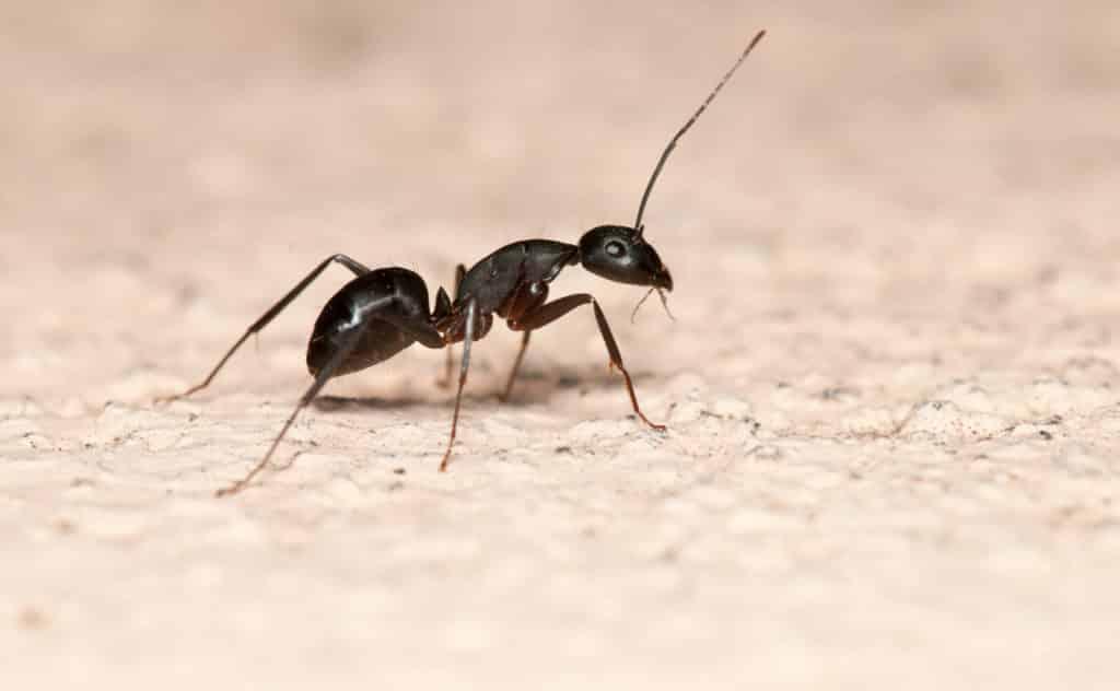 Ameisenpulver