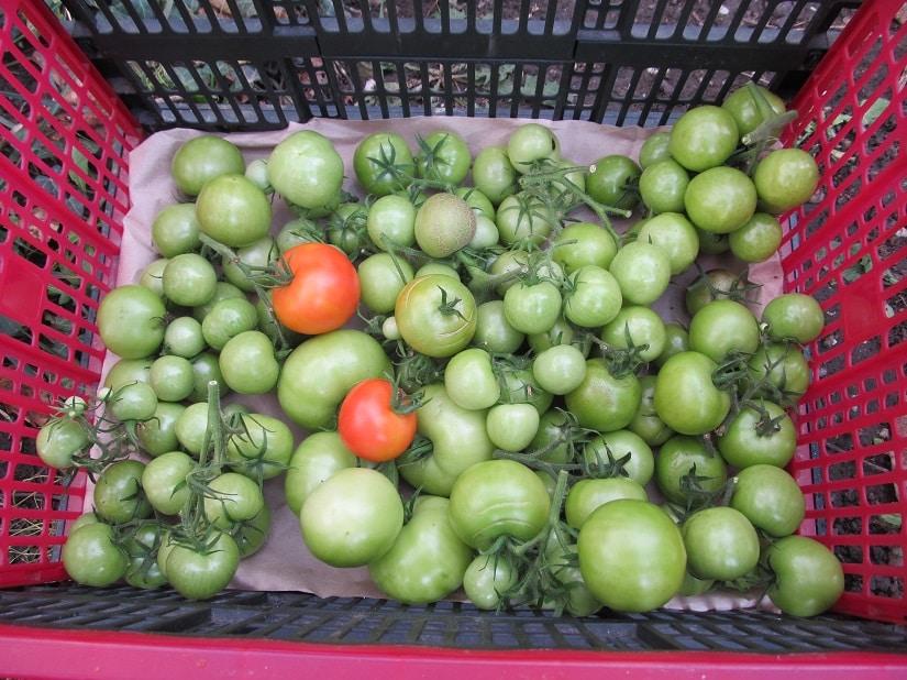 Lagerung grüner Tomaten