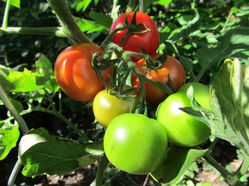 Bei roten Tomaten ist die Reife noch relativ leicht zu erkennen, bei anderen Farben wird es etwas kniffliger.