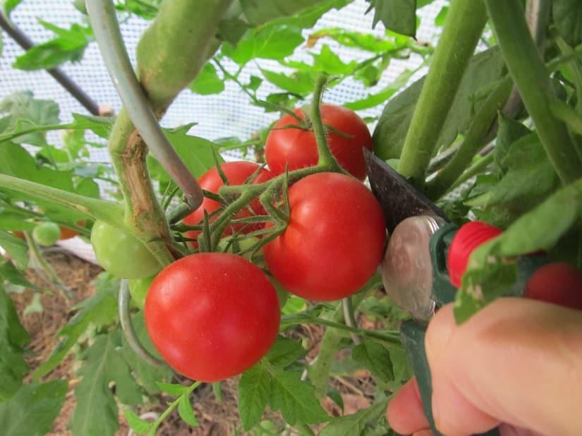 Wie genau man die Tomaten erntet, hängt von verschiedenen Faktoren ab.