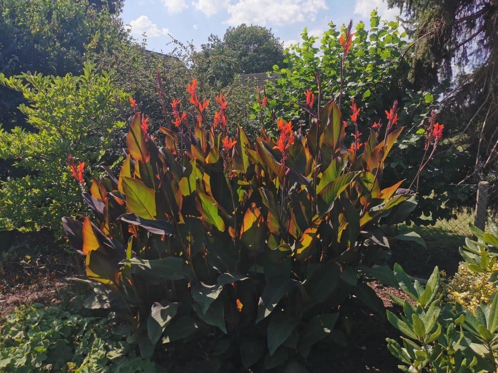 Canna blüht im Sommer wunderschön