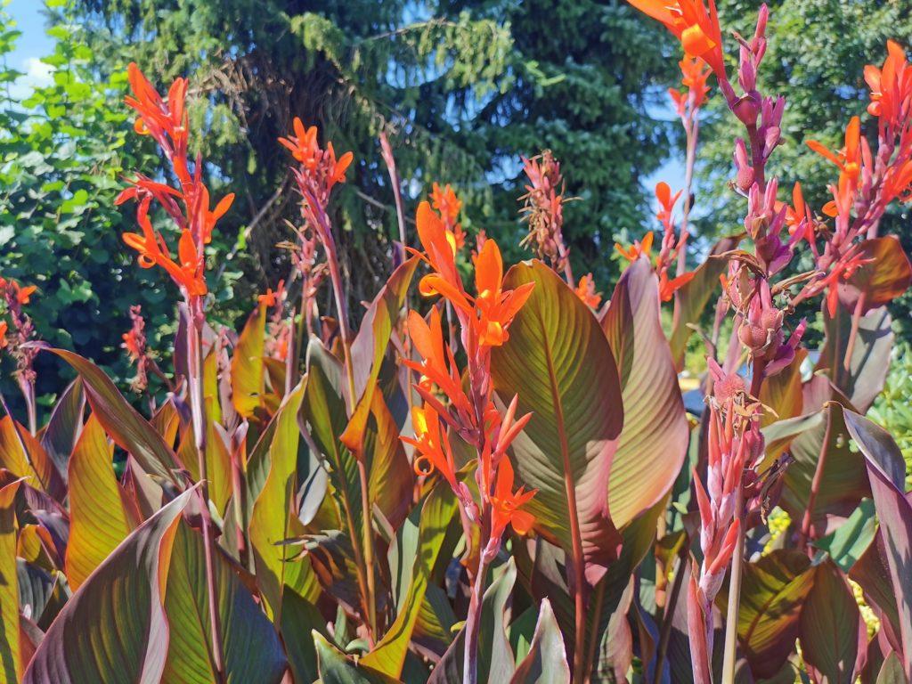 Die Blüte der Canna ist orange rot