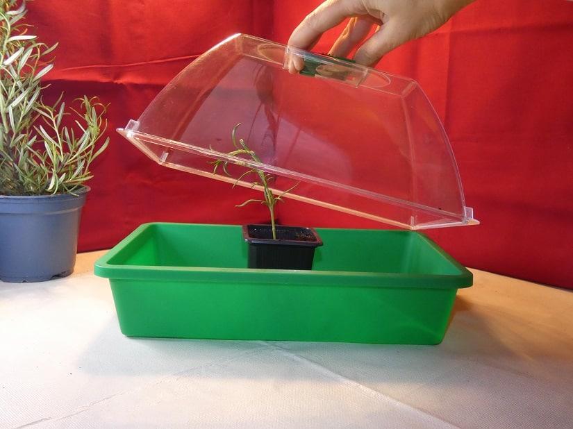 Anzuchtkasten, hier bei der Vermehrung von Rosmarin