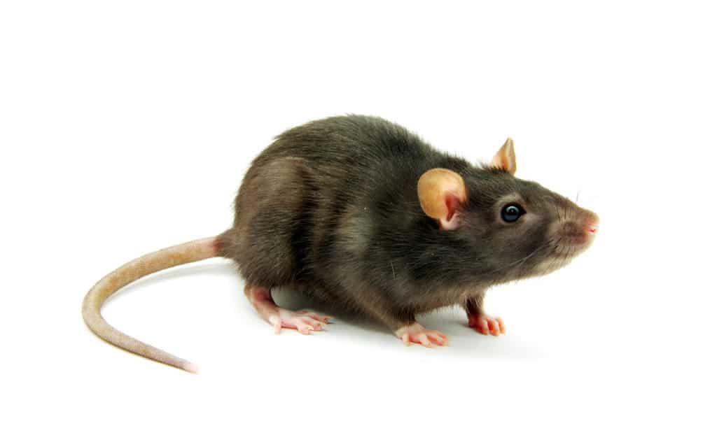 Rattenkot