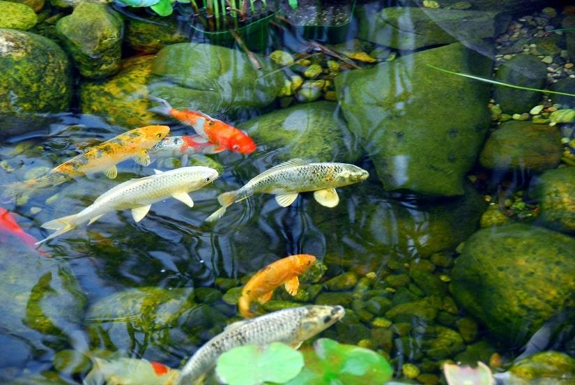 Mit einem Teichskimmer kann man das Wasser im Teich sauber halten