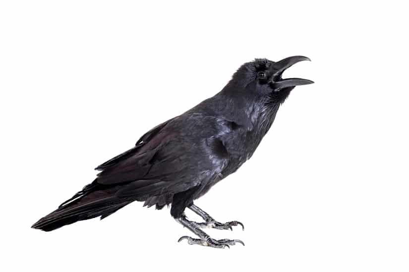 Der Rabe als Taubenschreck