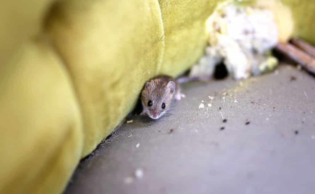 Mäusekot